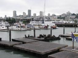 Тюлени покрай кея на Сан Франциско